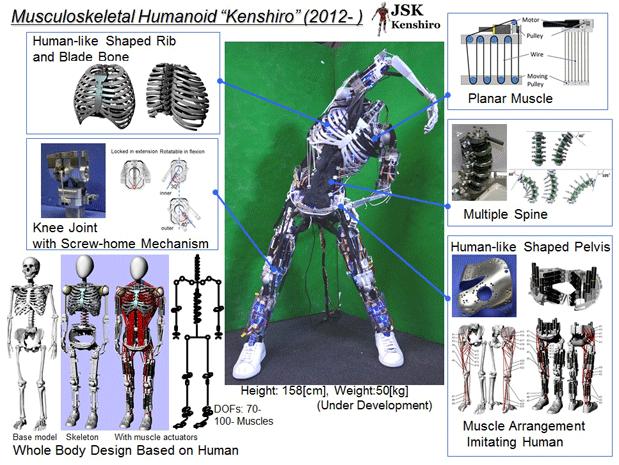 kenshiro-skeleton-cross-section